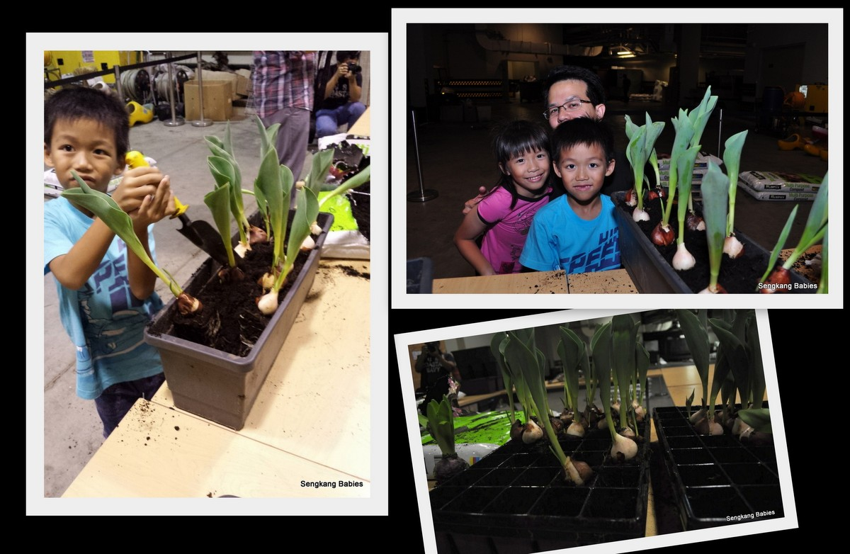 Planting Tulips in Singapore