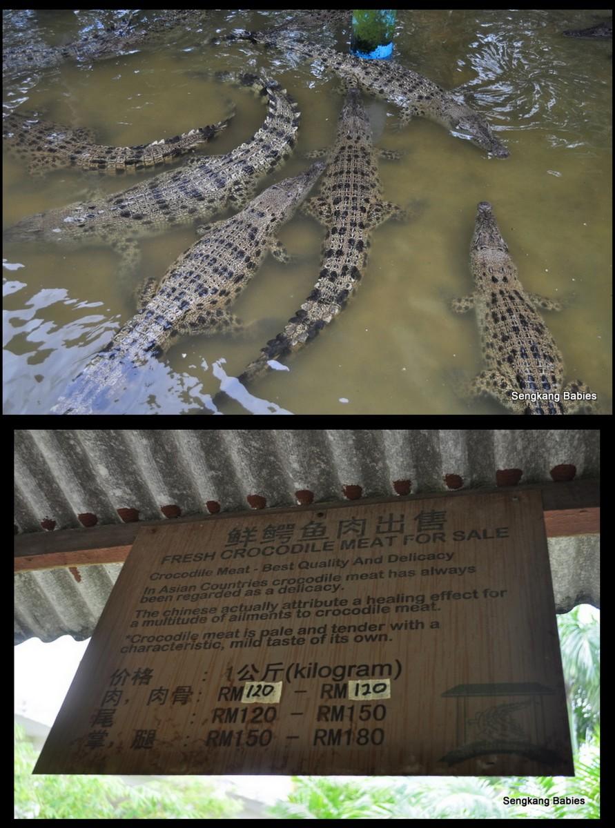 crocodile7