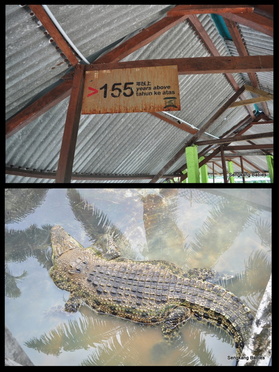 crocodile8