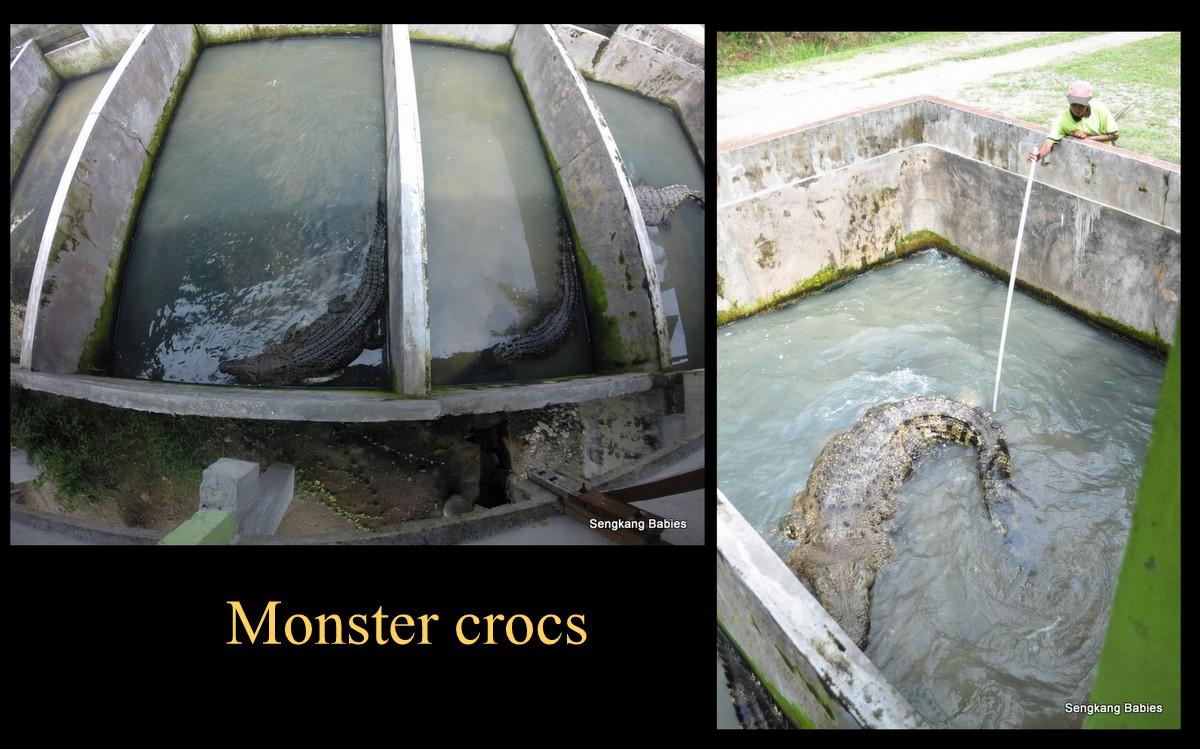 crocodile9