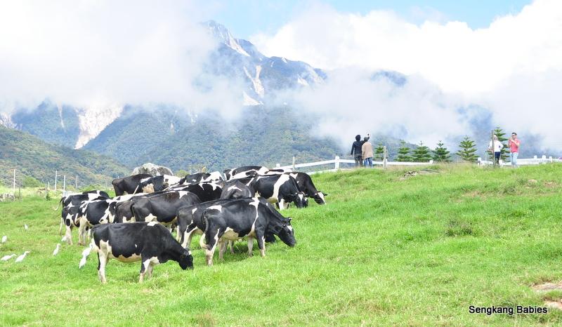 Desa cow farm