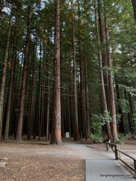 Rotorua red wood
