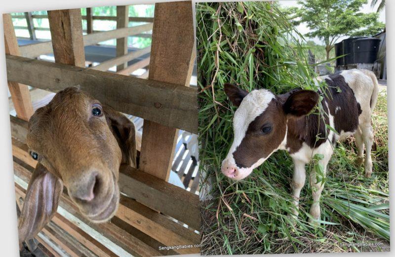 Farm Animals johor