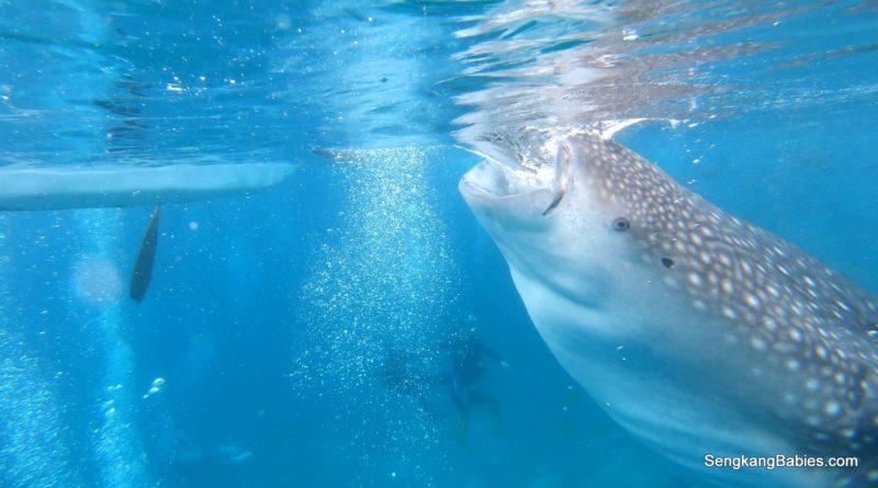 Cebu Day 2 Oslob Whale Sharks