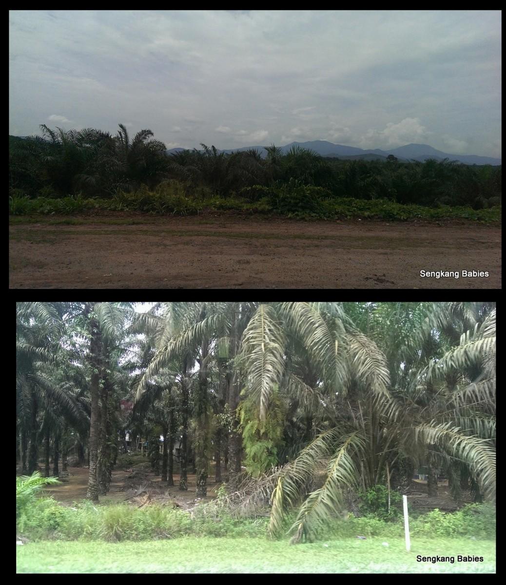 Koref Kacang Eco Farm1
