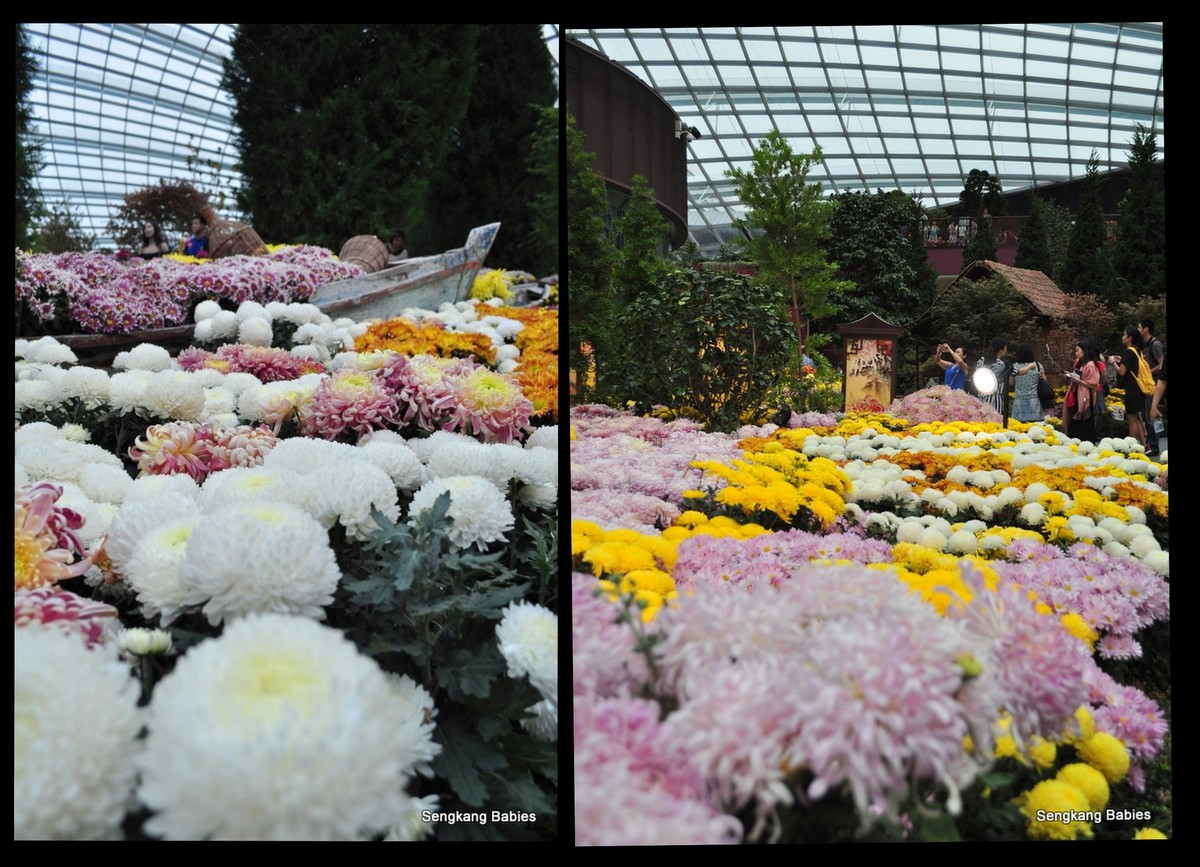 Celebration of Chrysanthemums3