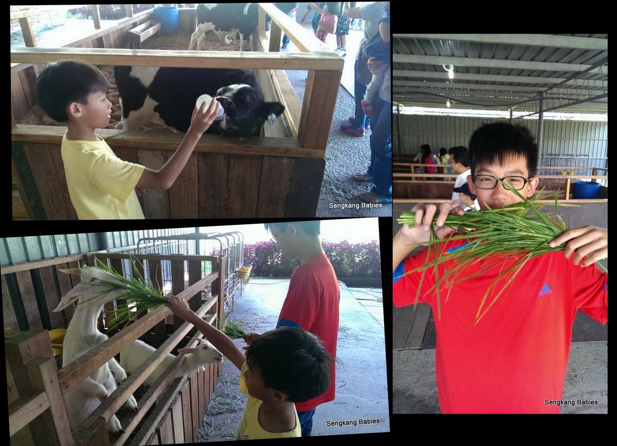 Sabah cow farm