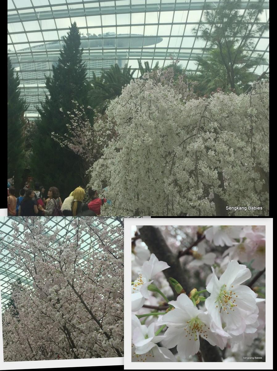 20160319 gardens cherry blossom1