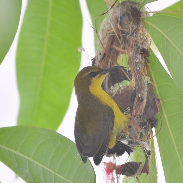 Olive back sunbird photos