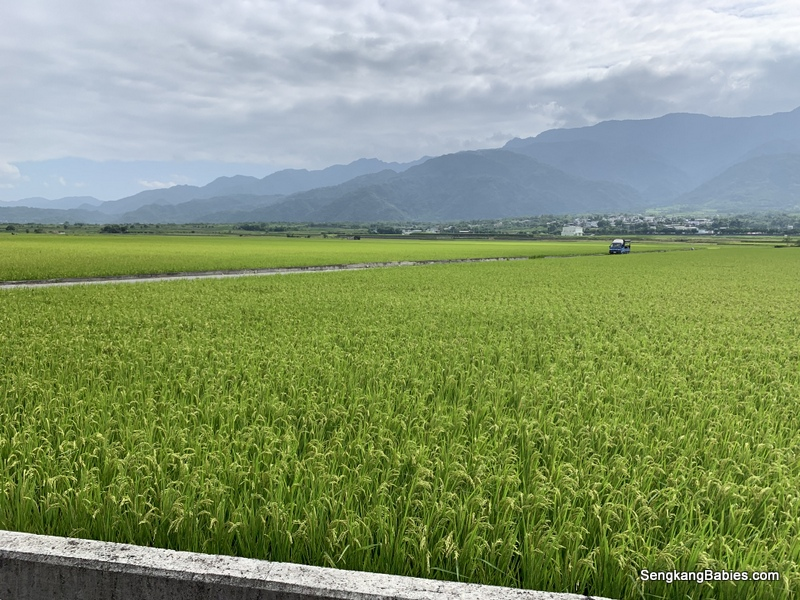 台灣稻草田