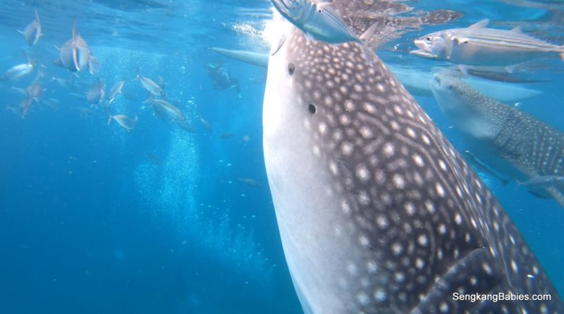 Oslob Whale Sharks video